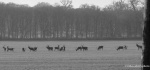Line of stags