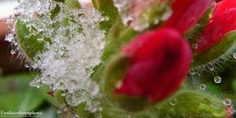Winter geranium