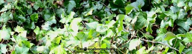 Ivy carpet