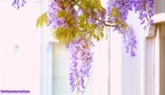Window on wisteria