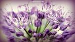 Lilac splash