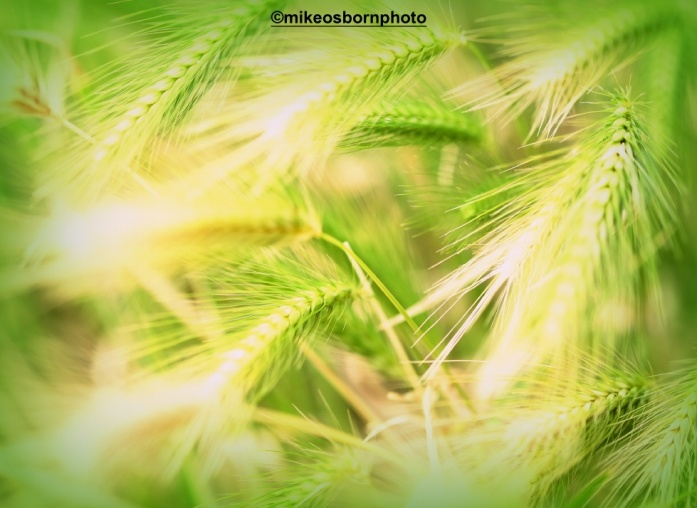 The green grasses