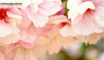 Softened pale pink