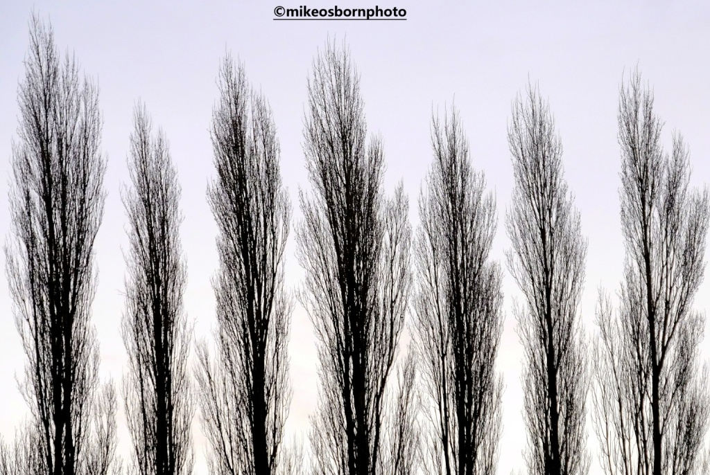 Lombardy Poplars in winter at Fletcher Moss Park, Didsbury, Manchester