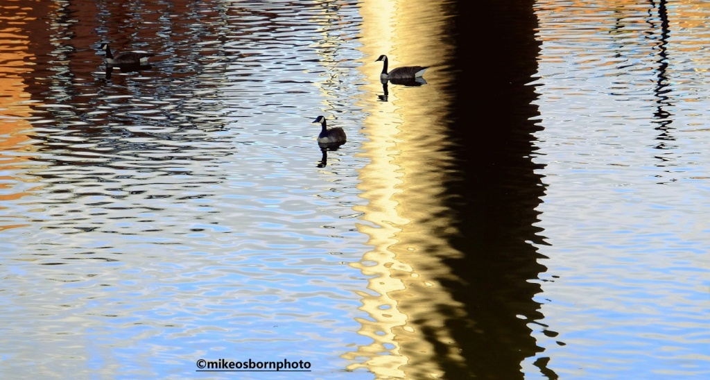 Geese on Bridgewater Canal, Manchester