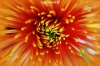 Macro of orange chrysanthemum