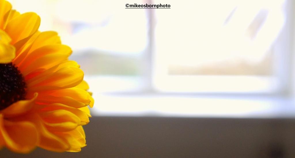 Yellow chrysanthemum by window