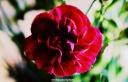 Single deep purple carnation