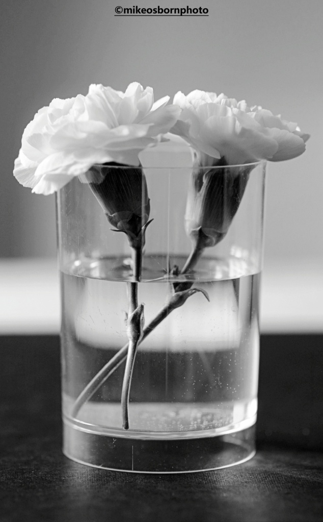 Still life of white carnation stems in black and white