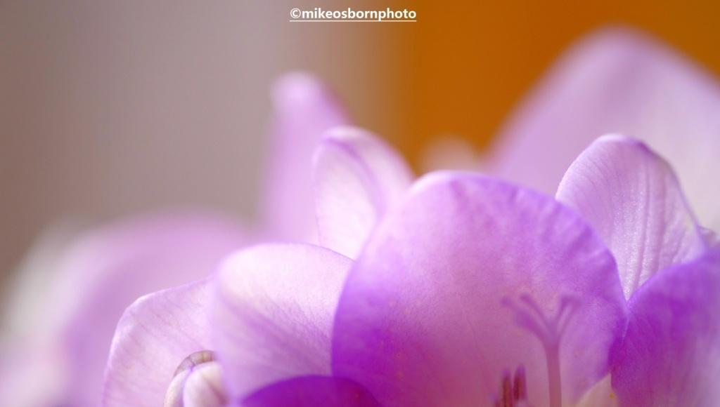 Pale mauve Freesia petals