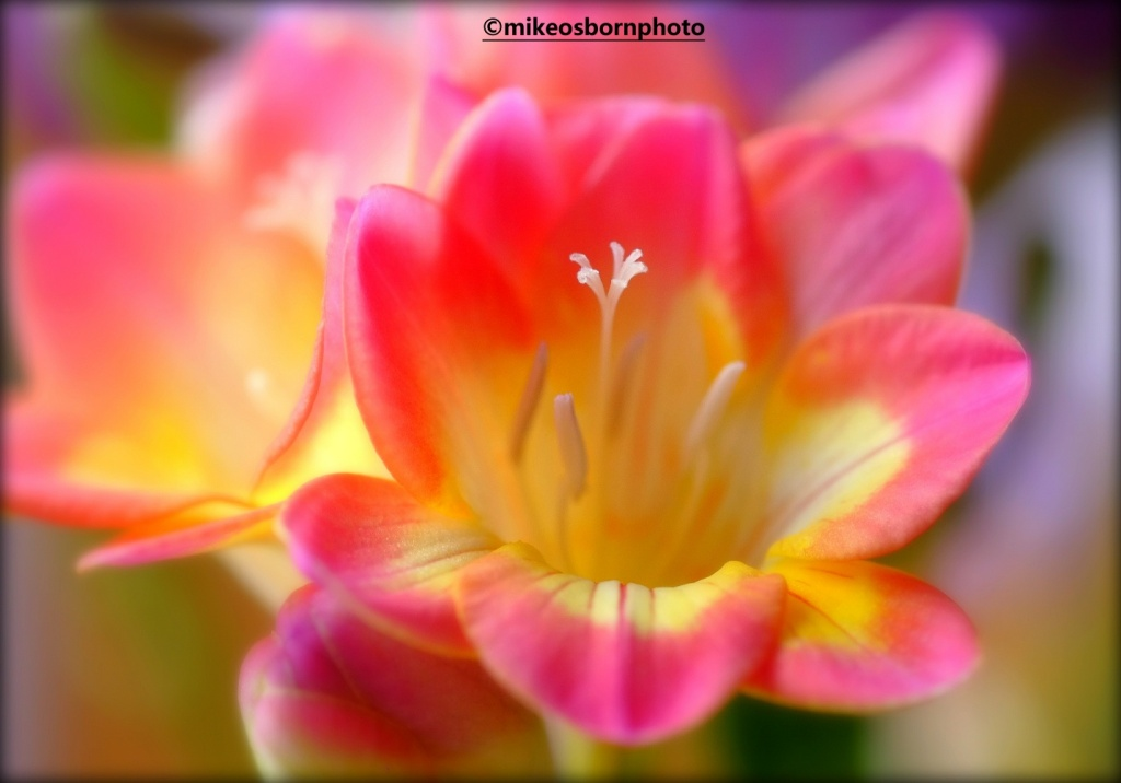 Pink and yellow Freesias