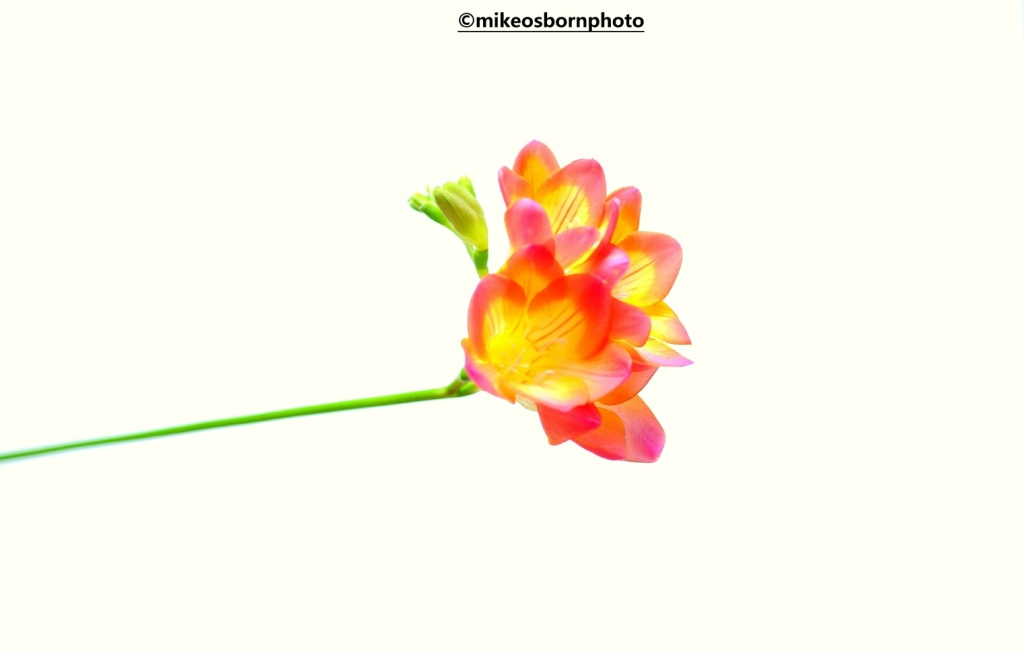 Pink and yellow Freesia stem