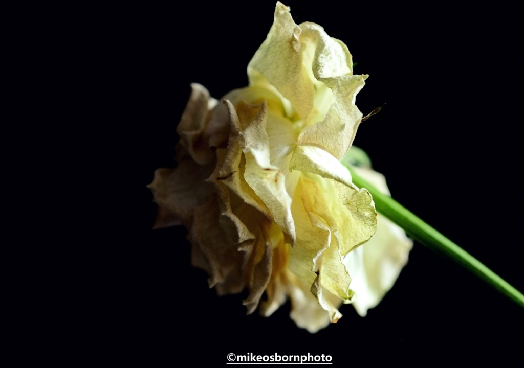 Dramatic view of a deteriorating white rose