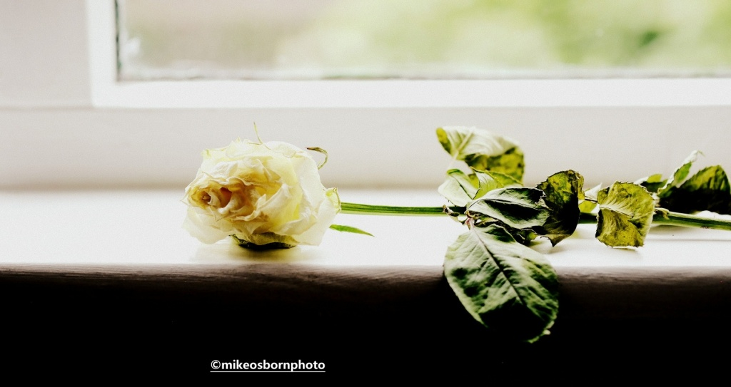 Dying white rose