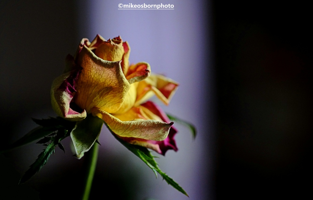 Dried up and decaying yellow and red rose bloom