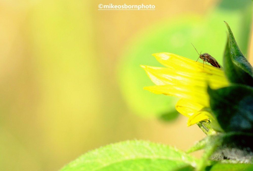 An insect rests on a small sunflower bloom