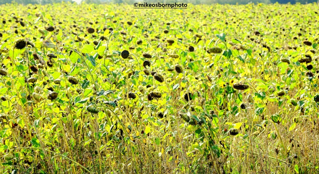 A sunflower field in late September