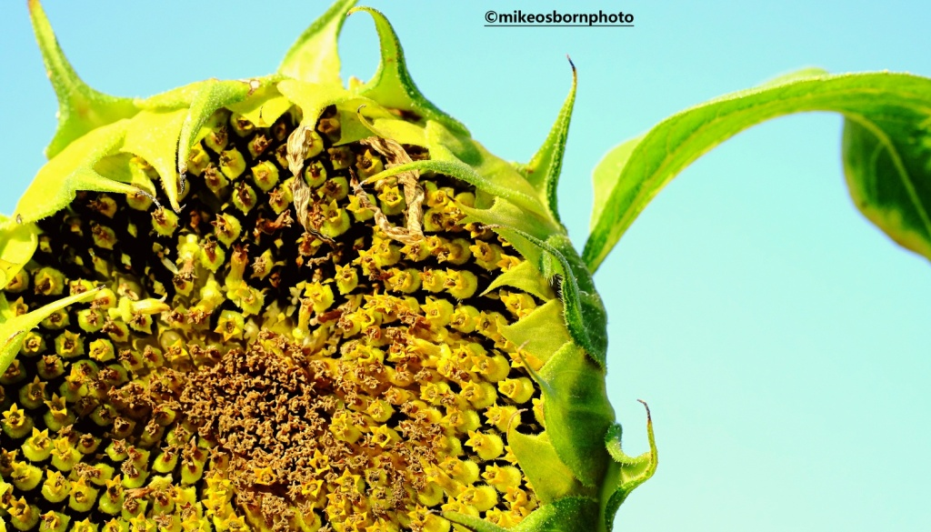 A ripening sunflower head