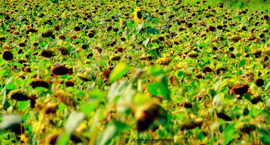 A yellow sunflower head protrudes in a field of ripening plants