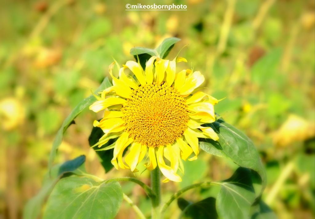 A sunflower in full bloom