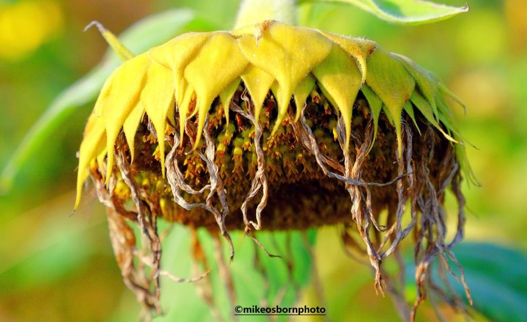 A ragged sunflower head in autumn
