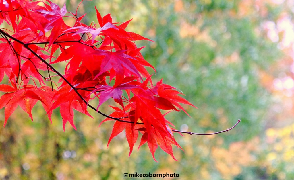 Deep red Acer leaves in autumn at Fletcher Moss Park in Manchester