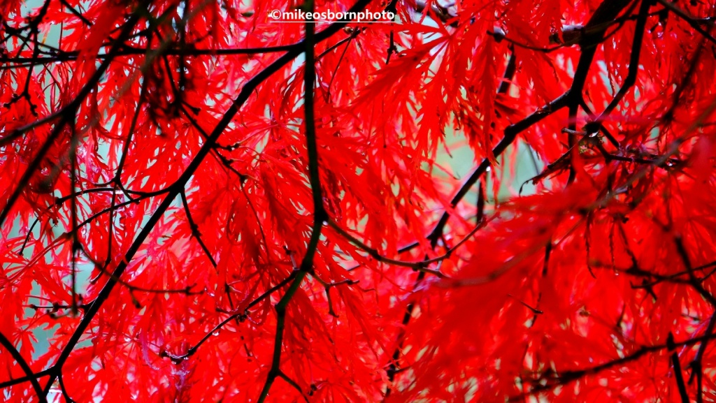 Flaming red Acer leaves in autumn
