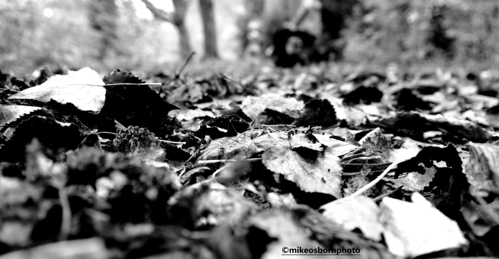 The woodland floor covered in autumn leaves