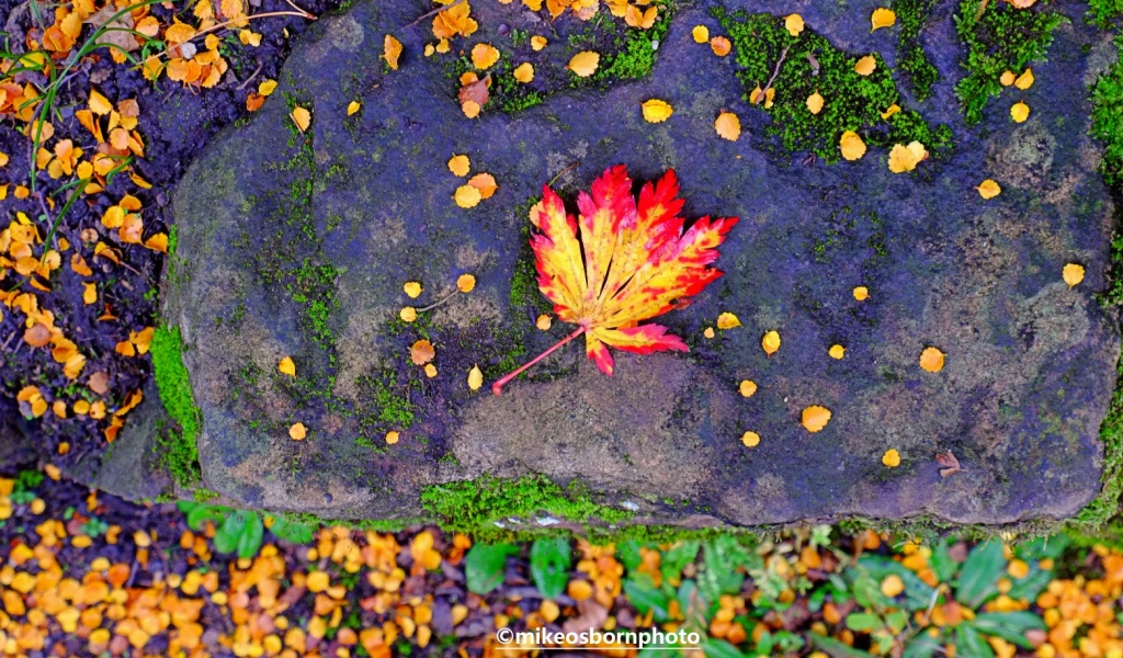 A single yellow and red autumn leaf