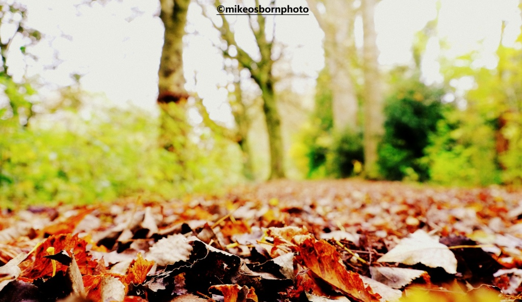 A carpet of leaves on the floor of woodland in Didsbury, Manchester