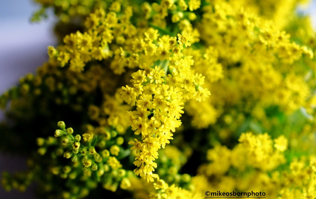 A cluster of yellow Goldenrod flowers