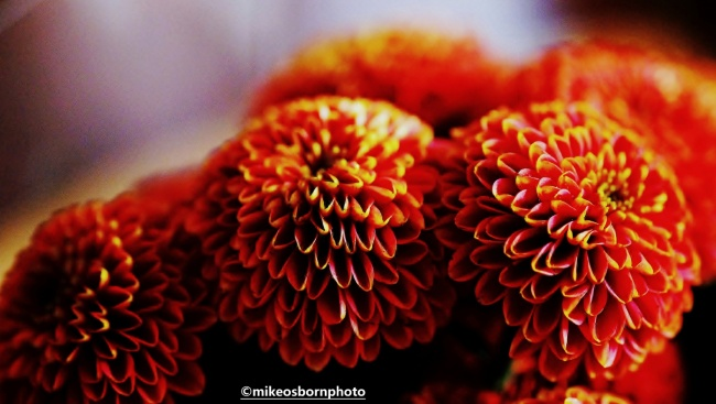 Miniature chrysanthemums
