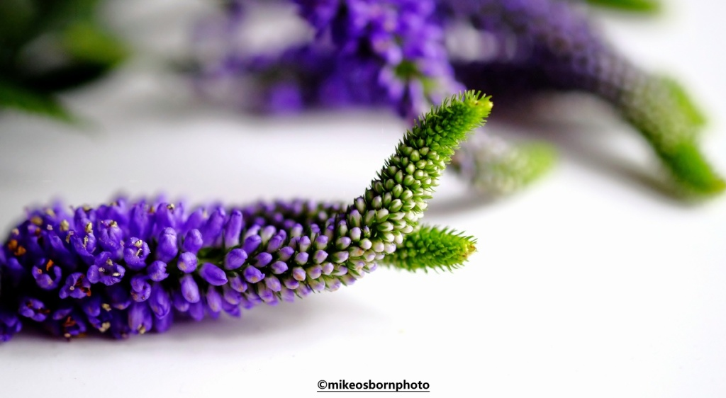 Mauve Veronica flowers