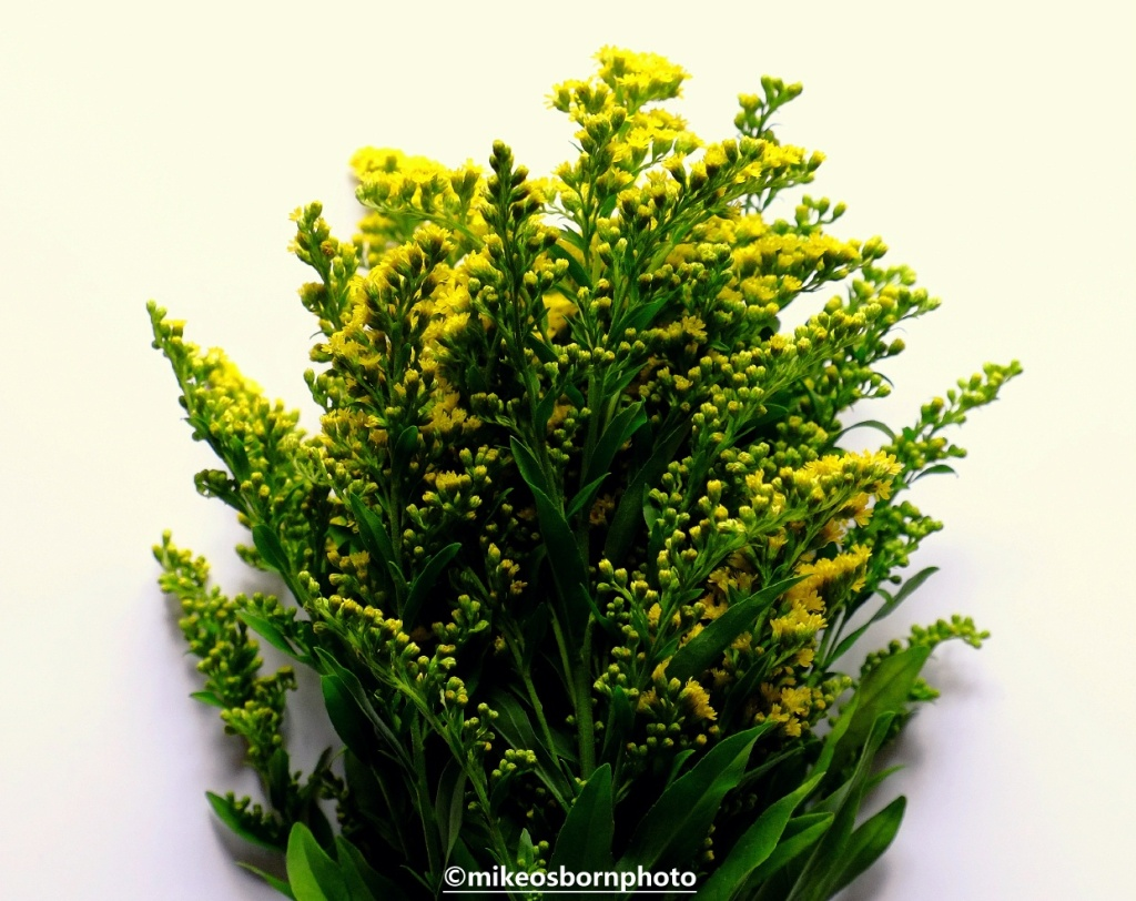 A spray of yellow Goldenrod flowers