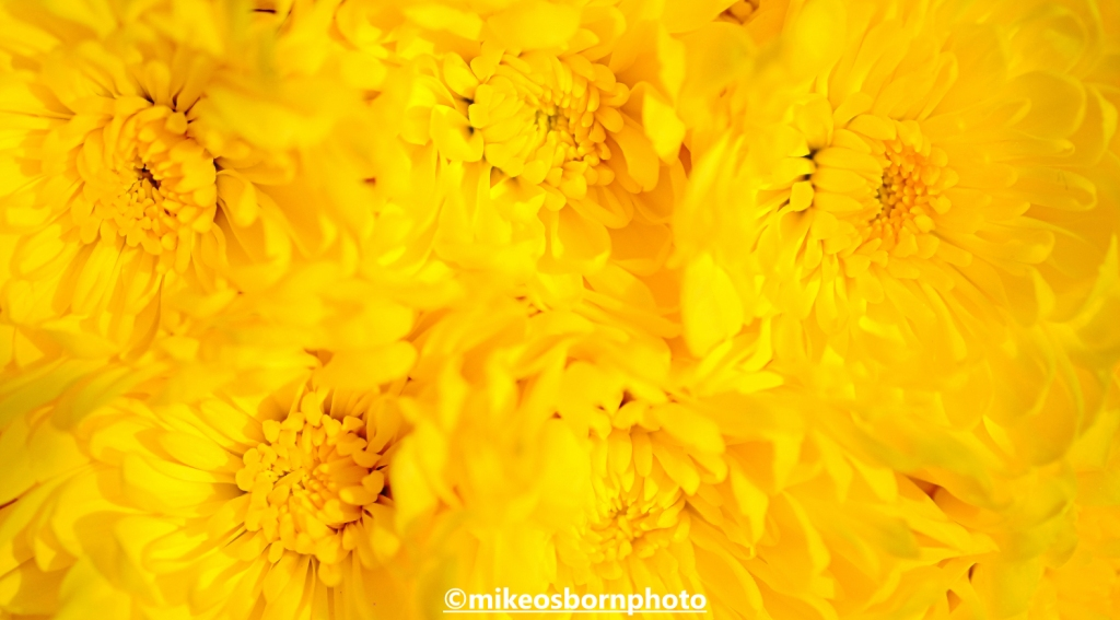 Yellow chrysanthemum blooms