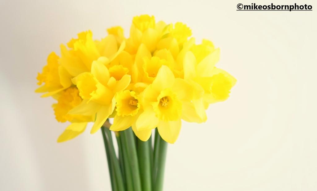 Bright yelow Daffodils