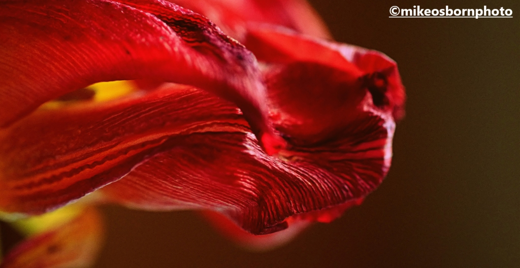 A decaying scarlet tulip