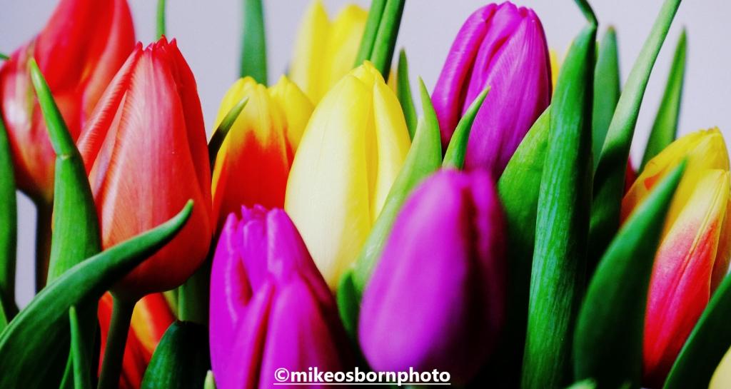Multi-coloured tulip blooms