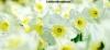 White daffodils at Dunham Massey, Cheshire