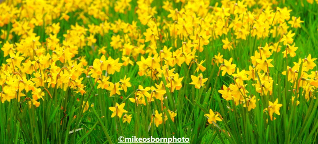 Daffodils in Parsonage Gardens, Manchester