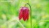 Fritillary bloom in Dunham Massey, Cheshire