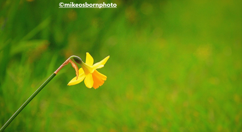 A single daffodil in Parsonage Gardens, Manchester