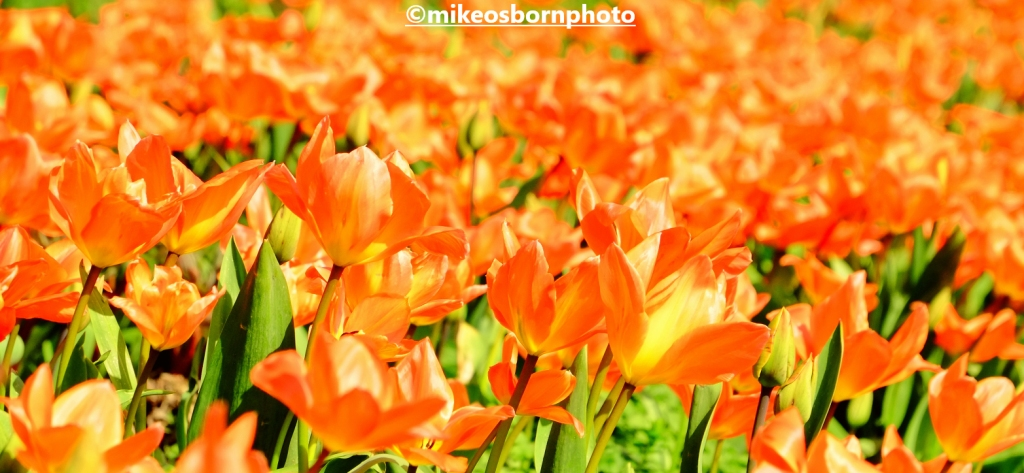 A mass of peach tulips at Dunham Massey, Cheshire