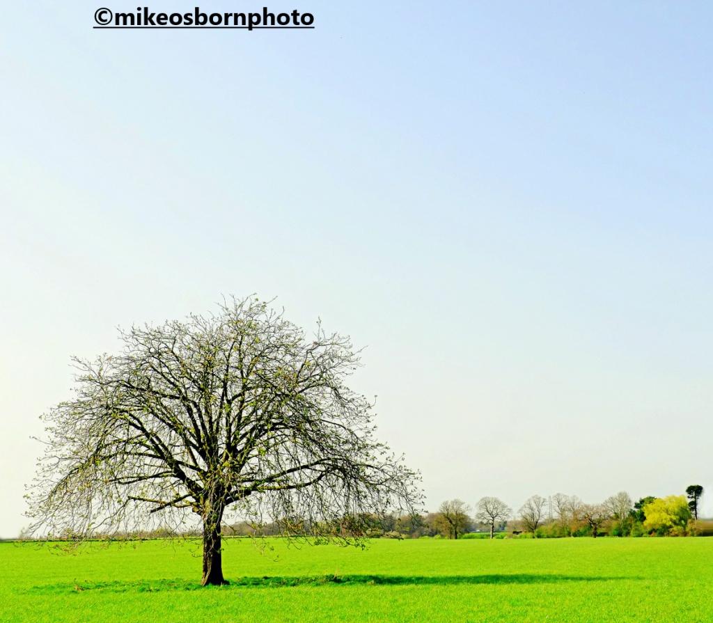 A solo tree near Dunham Massey, Cheshire