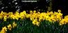Buttery yellow daffodils at Dunham Massey, Cheshire