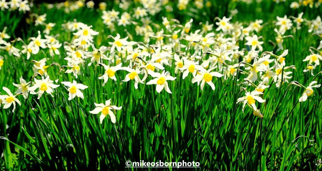 White and yellow daffodils at Dunham Massey, Cheshire
