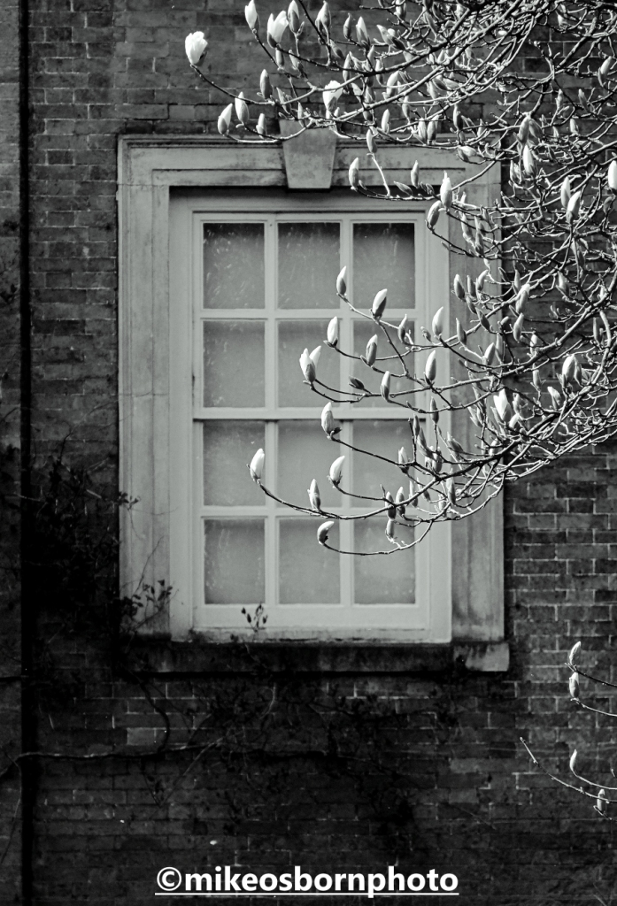 Magnolia buds by a window of Dunham Massey house, Cheshire
