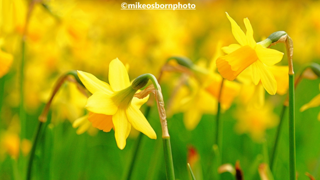 Daffodils in Parsonage Gardens' Manchester