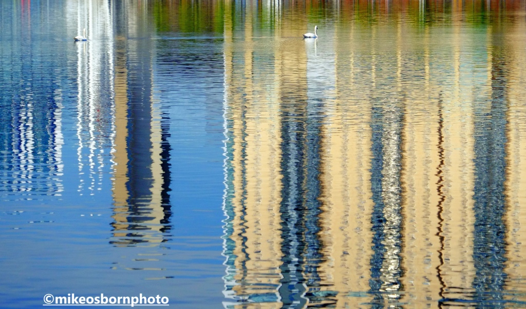 Two swans glide in the reflective waters of the Manchester Ship Canal