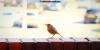 Urban robin